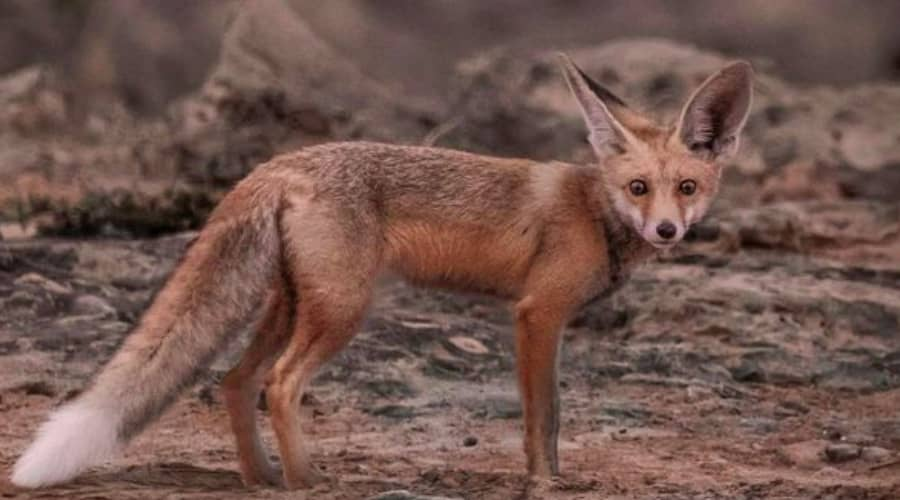 red fox in oman